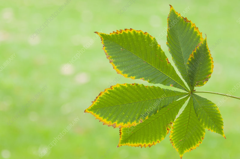Chestnut leaf in front of green grass