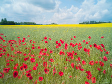 Red corn poppies in field
