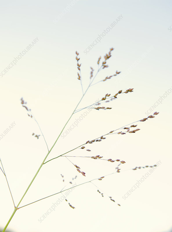 Close up detail of delicate long grass