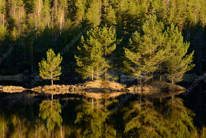Trees reflected in calm lake, Norway