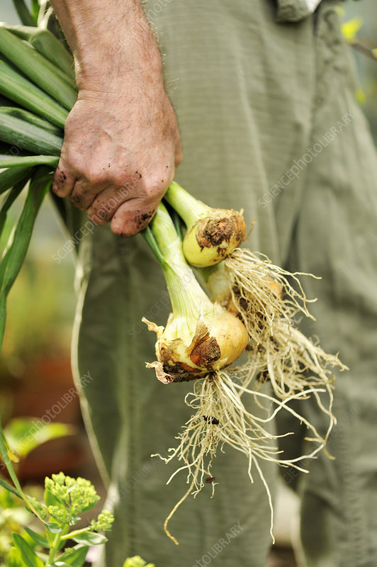 Man holding freshly picked onions