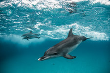 Atlantic spotted dolphins swim and play