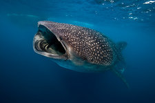 Whale shark feeding on plankton