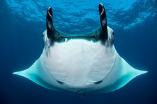 Oceanic manta rays, Revillagigedo, Mexico