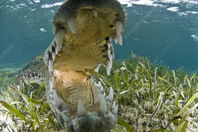 Open mouthed american crocodile, Mexico