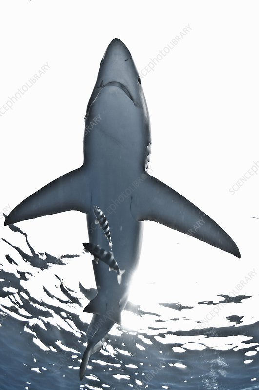 Blue shark swimming near sea surface
