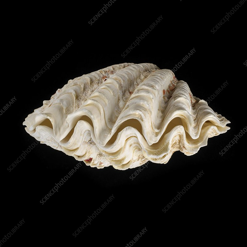 Fluted giant clam shell