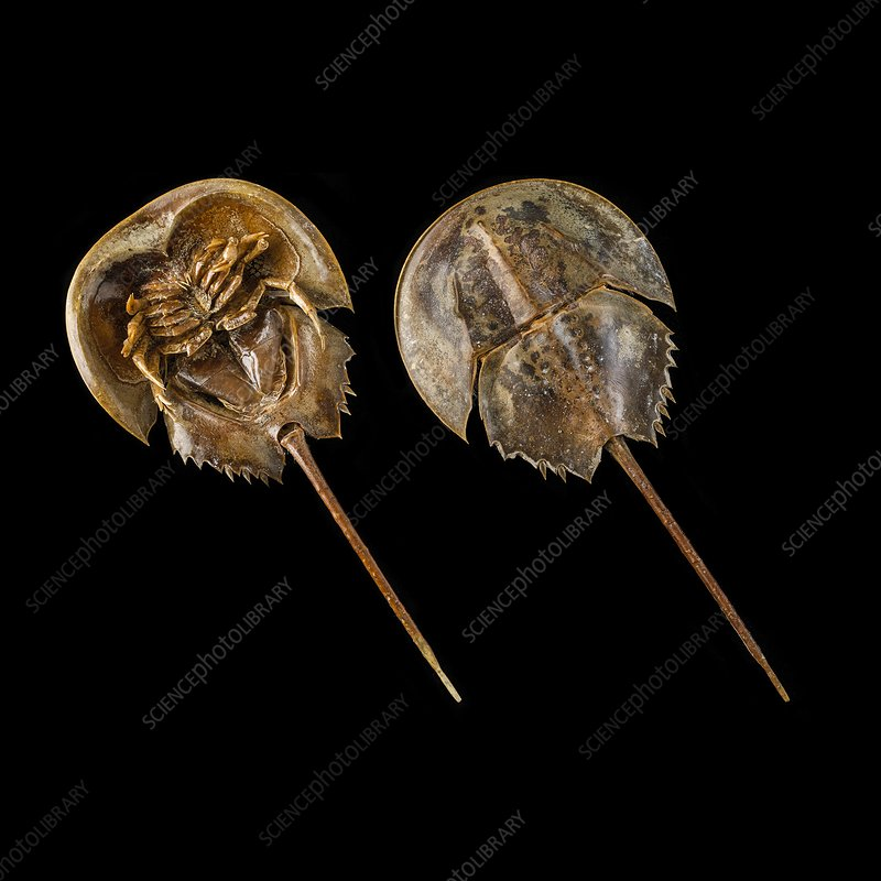 Two Atlantic horseshoe crabs