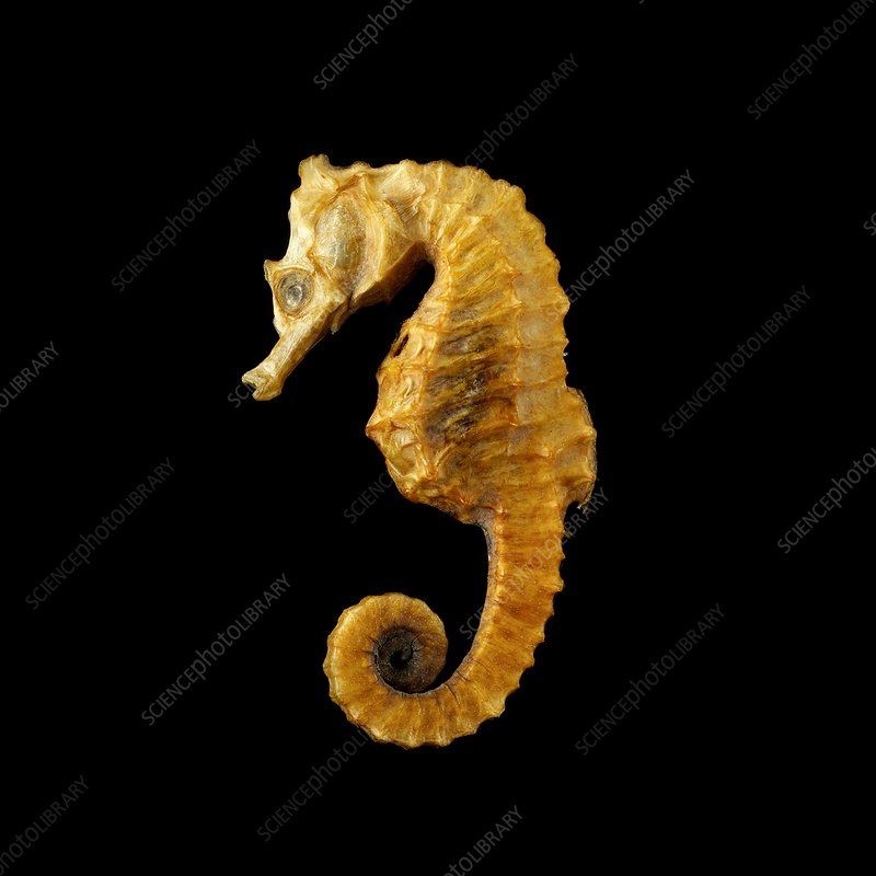 Seahorse against black background