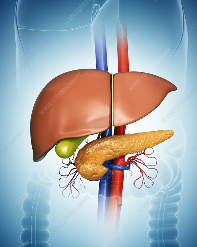 Pancreas, gall bladder and liver