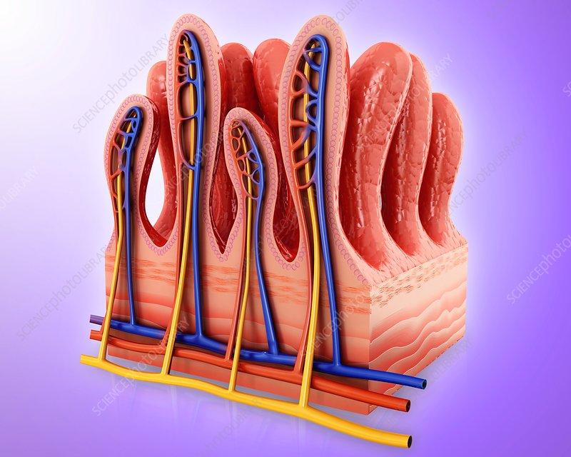 Small intestine wall, illustration