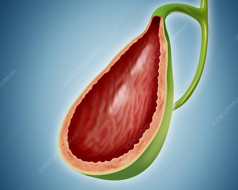 Gall bladder, illustration