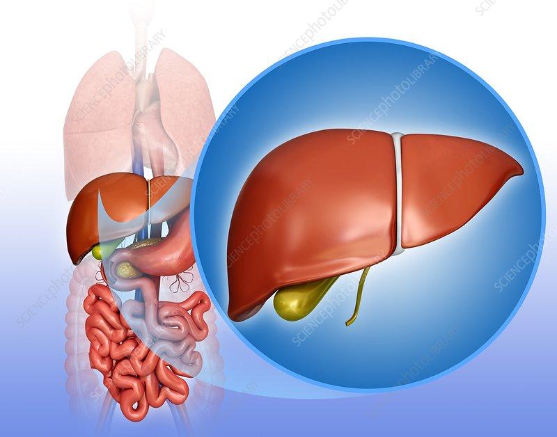 Liver and gall bladder, illustration