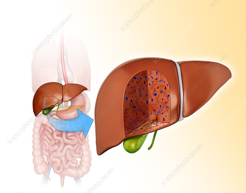 Cross section of liver, illustration