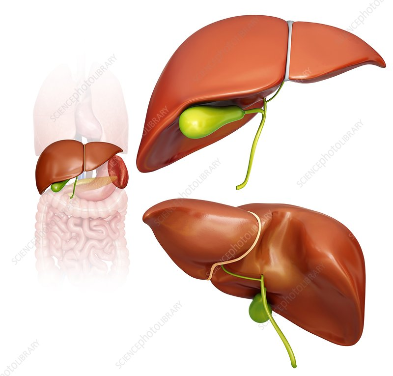 Liver and gall bladder, illustration