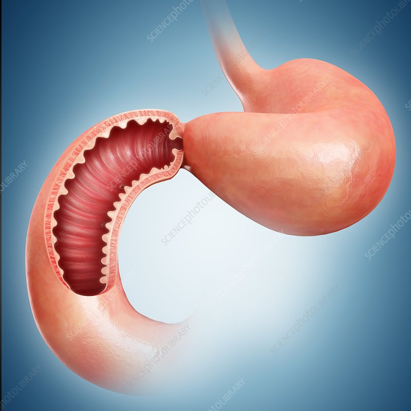 Small intestine, illustration