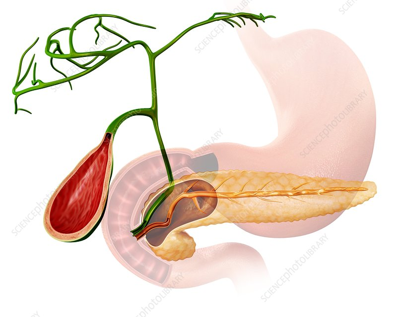 Gall bladder and pancreas, illustration