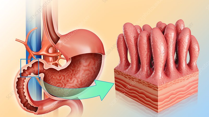 Stomach and intestinal wall, illustration