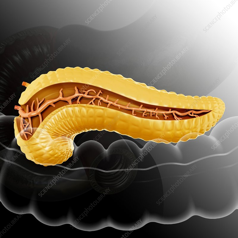 Cross section of pancreas, illustration