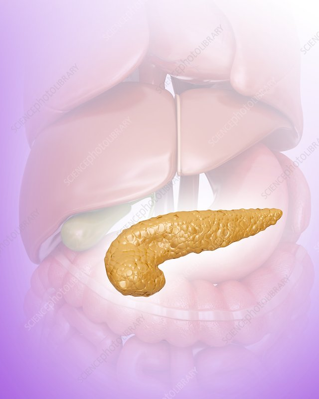 Pancreas, illustration