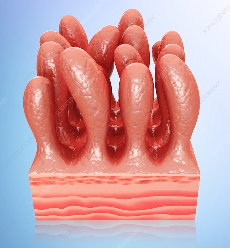 Small intestinal wall, illustration