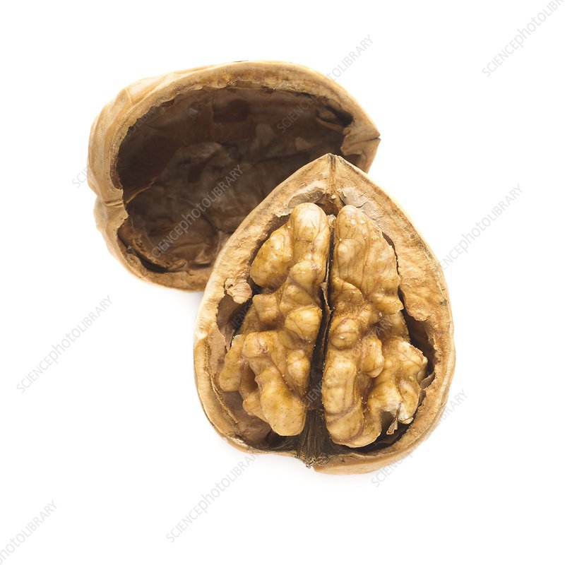 Walnut half in a shell