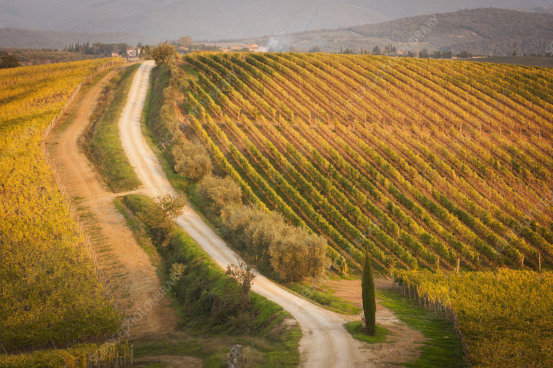 Dirt road through a vineyard