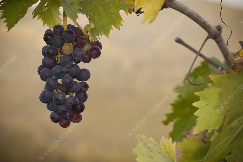Sangiovese grapes in a Tuscan vineyard