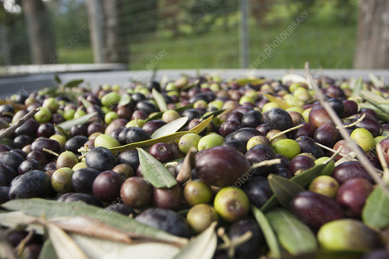 Freshly harvested olives in Tuscany