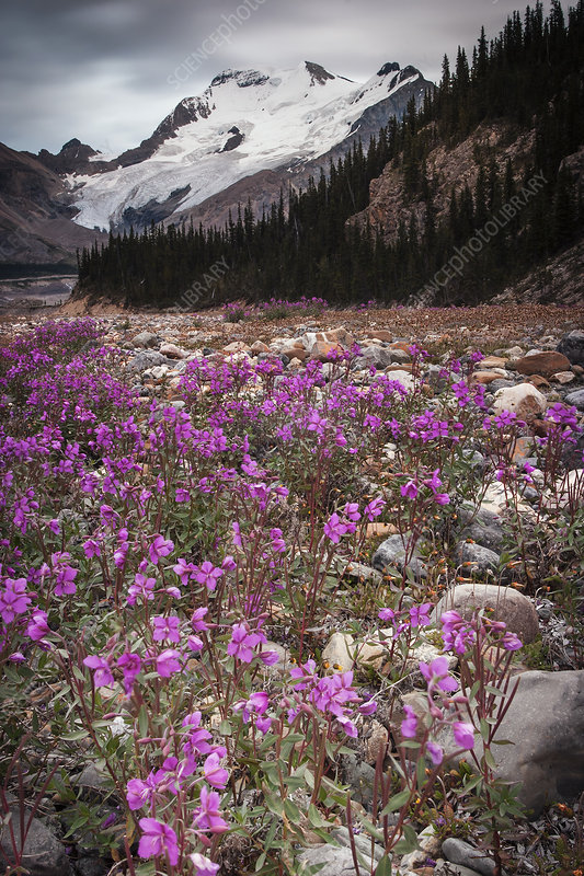 Athabasca Glacier and pink wildflowers