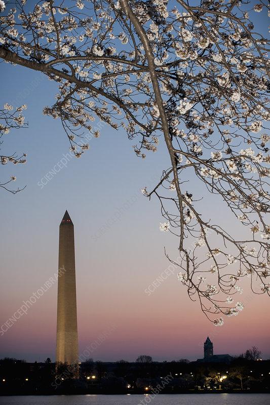 Washington Monument and cherry blossom