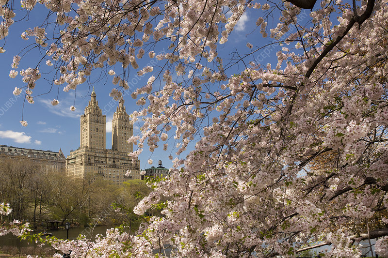 Cherry blossoms in spring in Central Park