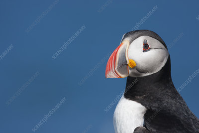 Atlantic Puffin, head profile
