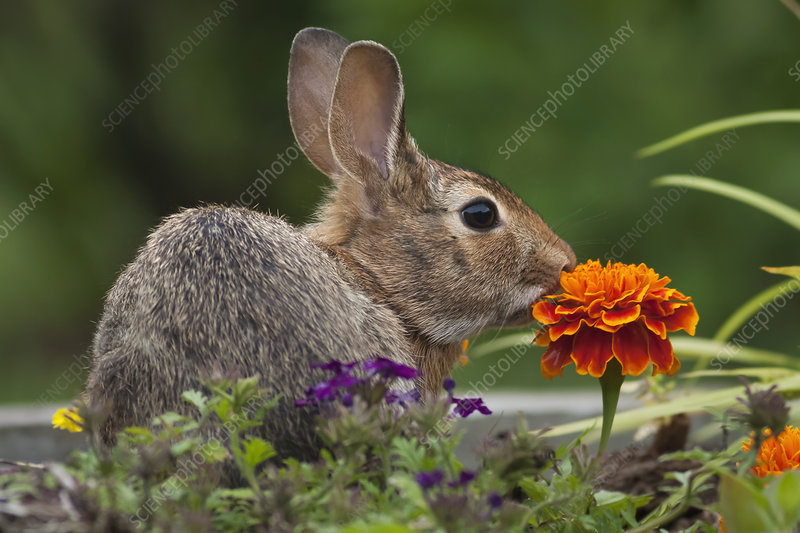 Cottontail Rabbit in a meadow