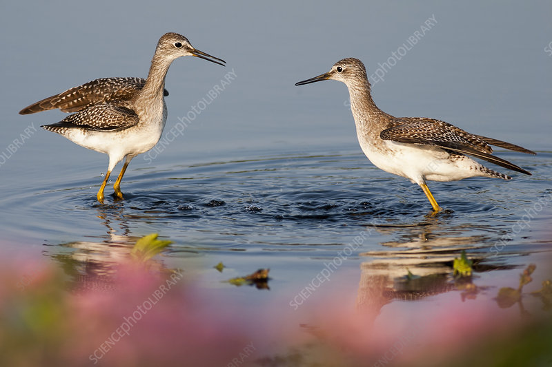 Two Curlews wading in water