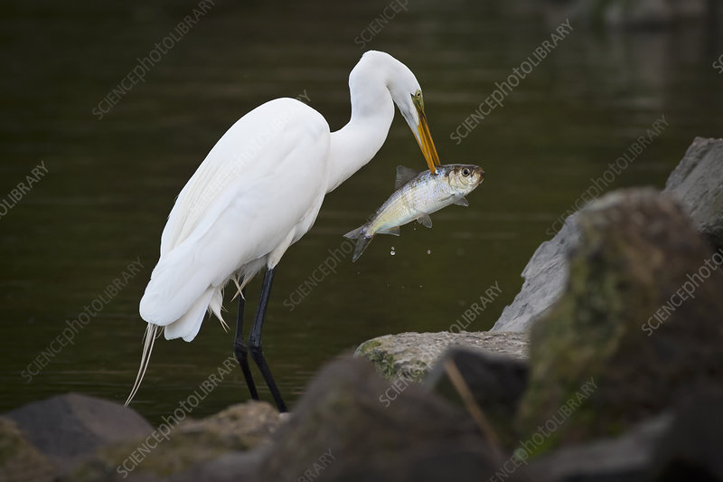 Great Egret with a fish in his beak