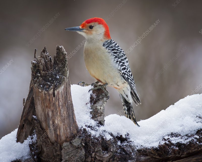 Red Headed Woodpecker in snow