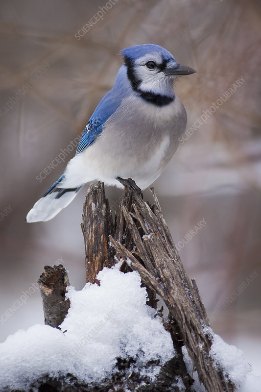 Blue Jay bird on branch covered in snow