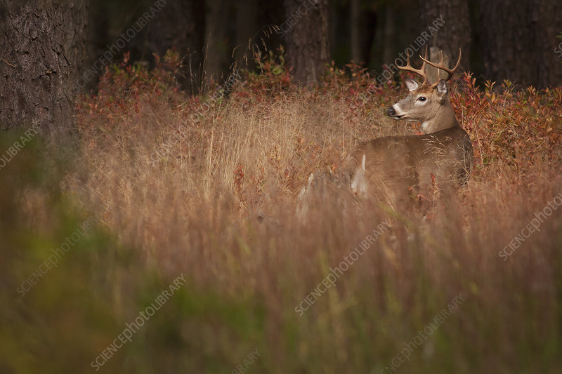 Male deer with antlers in tall grass