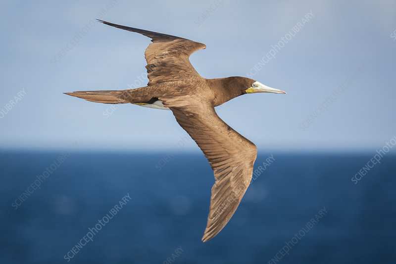 Brown Booby in flight over the ocean
