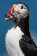 Atlantic Puffin with several fish in bill