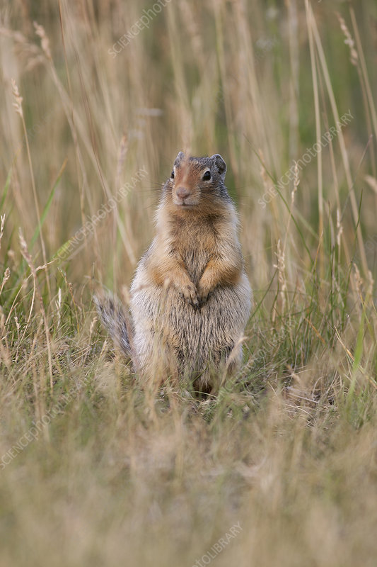 Ground Squirrel in tall grass