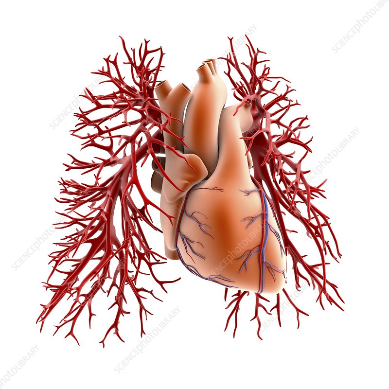 Circulatory system of heart and lungs