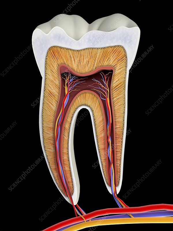 Molar tooth cross-section, artwork - Stock Image F012/5651 ...