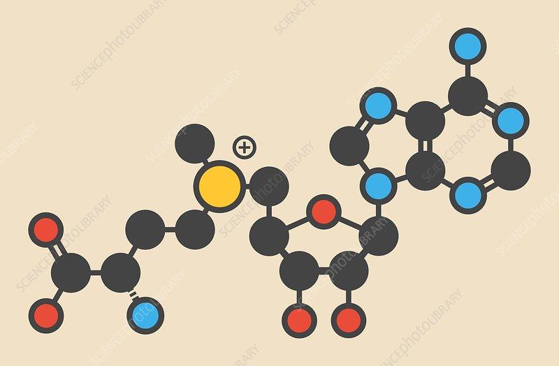 Adenosyl methionine molecule