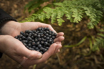 Person holding bilberries