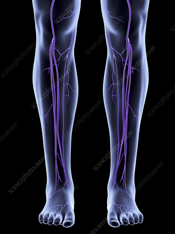 Legs showing venous system, artwork