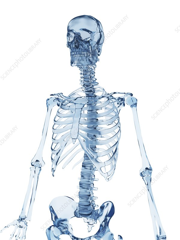 Skeletal structure, Illustration