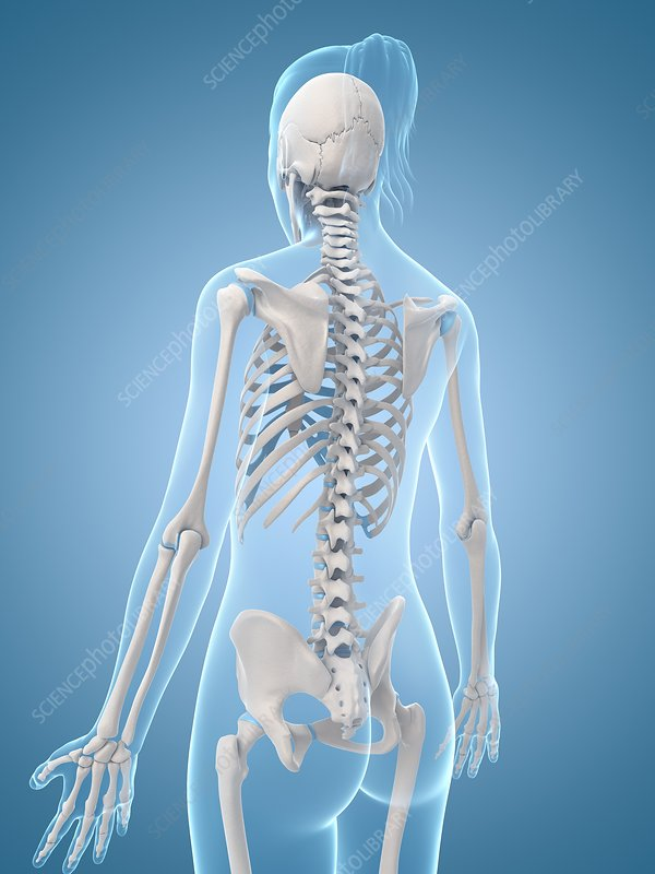 Human skeletal structure, Illustration