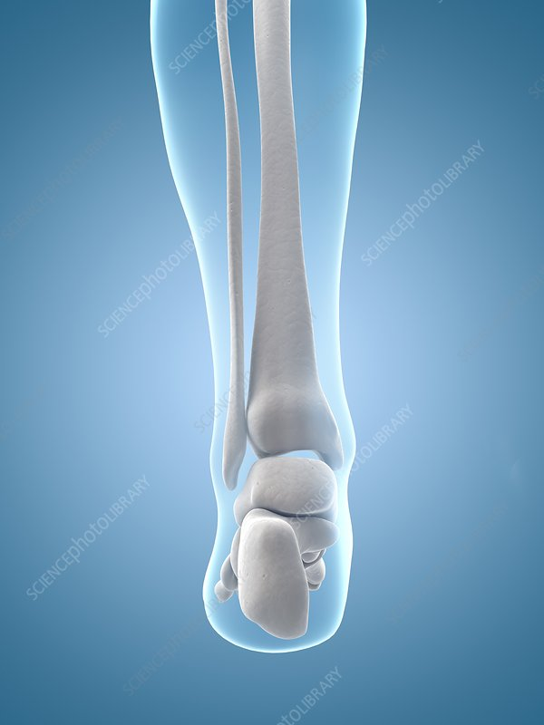 Human heel bones, Illustration